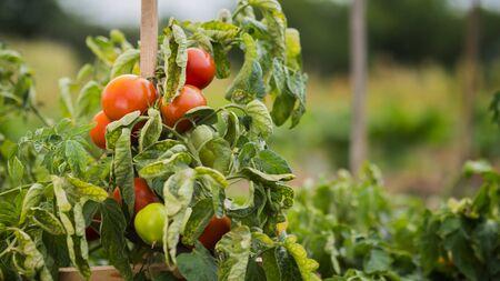 Tomatoes ripen in a well-kept garden Imagens