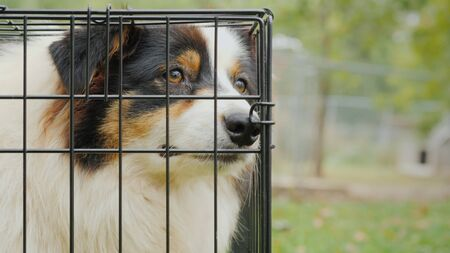 Portrait of a sad Australian Shepherd. Sits in a cage and misses