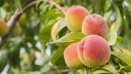 Several juicy peaches ripen on a tree