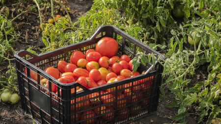 Box with ripe red tomatoes in the garden