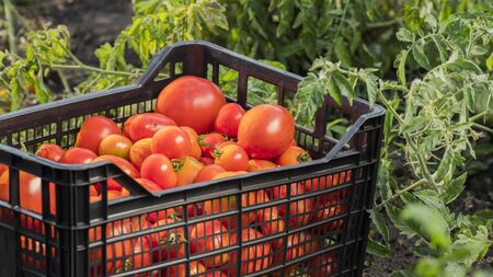 Fresh vegetables in the garden - a box with tomatoes among the branches of tomatoes