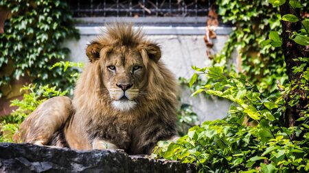 Portrait of a formidable male lion