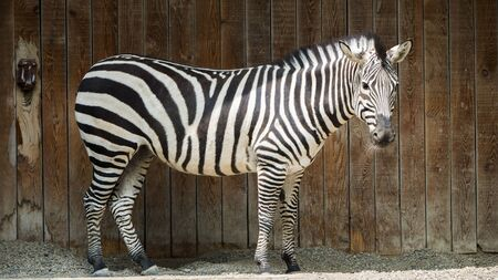 Zebra on the background of a wooden fence Imagens
