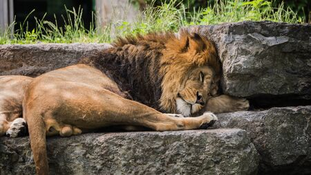 Big male lion dozing on a stone