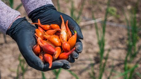 Farmers hands with small onion bulbs for planting Фото со стока