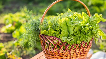 A basket of lettuce and parsley on the field. Fresh healthy food 写真素材