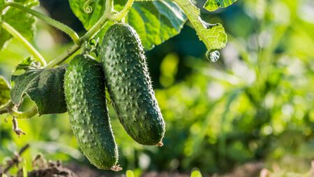 Two cucumbers ripen on a bed in the sun 写真素材