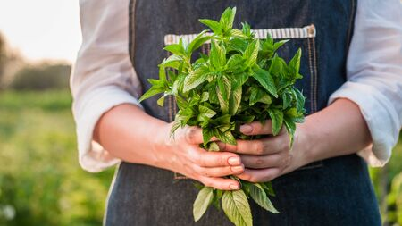 Farmer holds a handful of mint - ingredient in cooking and cocktail preparation