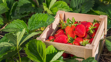 Wooden box with strawberry berries on the field where it grows 写真素材