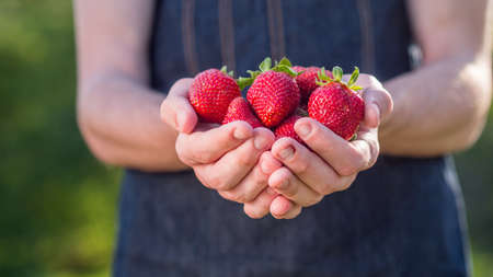 Ripe juicy strawberries in the hands of a farmer 写真素材