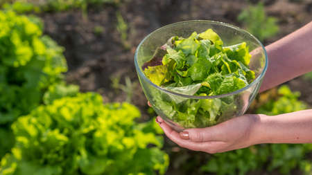 Side view: A woman holds a bowl of lettuce over the vegetable garden where it grows