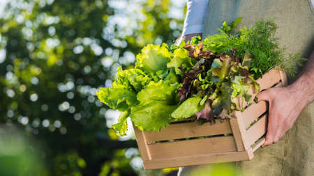 Side view: Male farmer holds wooden box with lettuce leaves and herbs