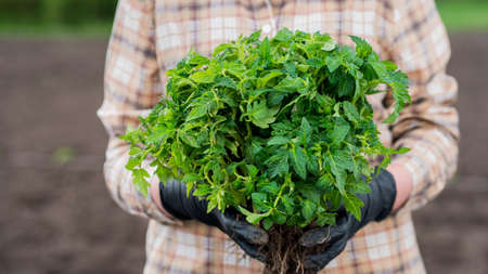 Farmer holds armful of tomato seedlings, stands on the field 写真素材