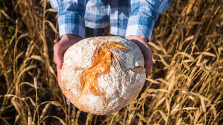 Farmer holds a loaf of bread over wheat ears in a field. Top view