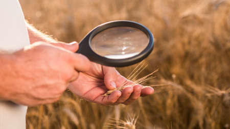 An agronomist studies wheat spikes through a magnifying glass 写真素材