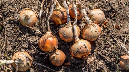 Onion bulbs lie on the ground, just torn from the beds