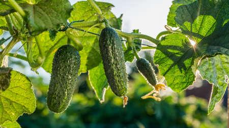 Cucumbers ripen in the sun. Archivio Fotografico