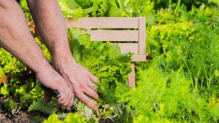 Harvest lettuce leaves. Healthly food