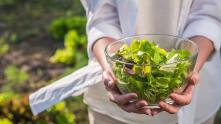 Female hands holds a bowl of lettuce over the vegetable garden where it grows