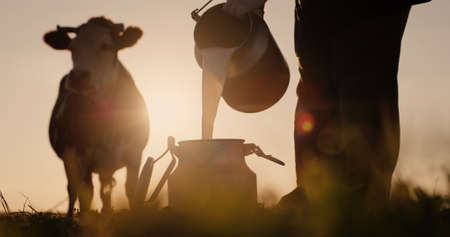 Farmer pours milk into can at sunset, in the background of a meadow with a cow