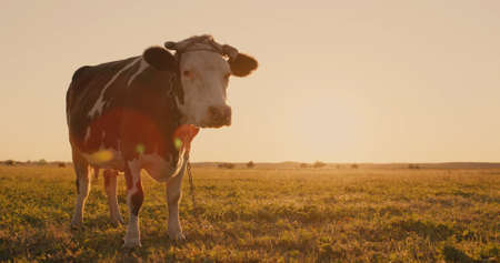 Funny cow stares at the camera in surprise, standing in a meadow at sunset. Фото со стока