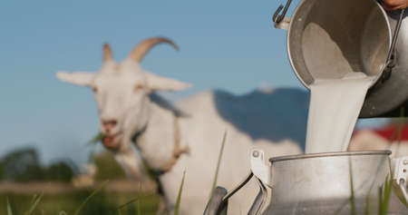 Farmer pours goats milk into can, goat grazes in the background