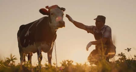 The owner next to his cow at sunset. Natural products from local farms