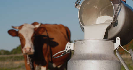 Farmer pours milk into can, in the background of a meadow with a cow