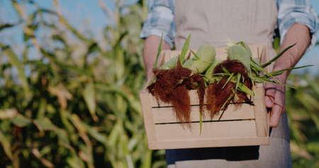 Farmer holds a box with fresh corn cobs Archivio Fotografico