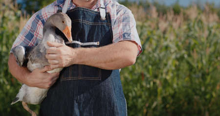 A farmer holds a large goose. Poultry and food from local farmers