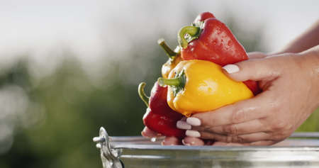 Womens hands hold juicy multicolored pepper, just washed in a bucket Фото со стока