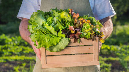 Middle-aged farmer holds wooden box with fresh herbs and salad