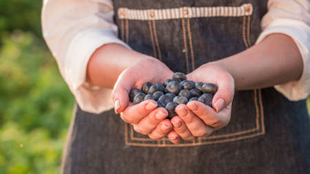 Farmer keeps a handful of blueberries - a healthy berry full of vitamins Фото со стока
