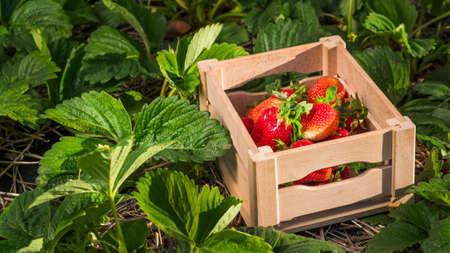 Appetizing strawberries in a box stands on the field Фото со стока
