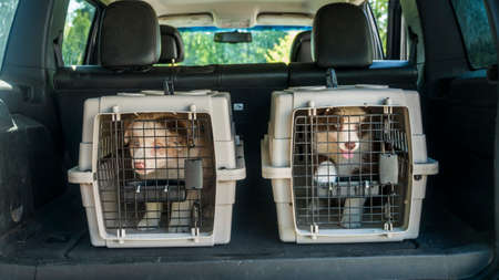Two puppies in cages in the trunk of a car.