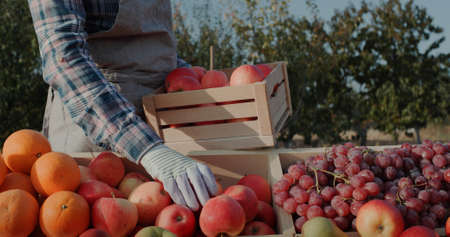 The farmer puts ripe apples on the counter. Farmers market and products from local producers