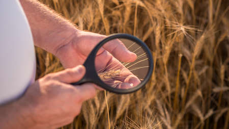 Top view: An agronomist studies wheat spikes through a magnifying glass