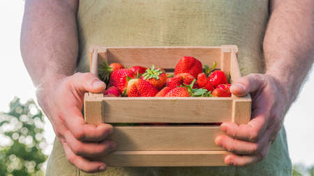 Farmer holds a wooden box with strawberries