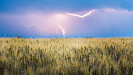 Lightning discharge in the sky above the field of yellow wheat 免版税图像