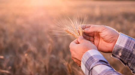 The hands of an elderly farmer hold a spike of wheat, how much the quality of grains and harvest