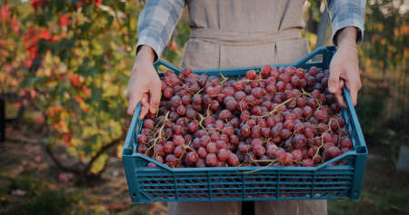 Farmers hands with a box of grapes