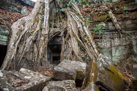 The roots of a giant tree at the entrance to the ancient temple of the Angkor Wat complex in Cambodia