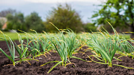 Smooth rows of garlic grow on the bed Imagens
