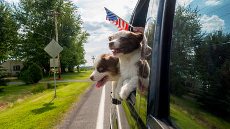 Two puppies travel in a car with the owner, a hand with the American flag peeps out of the window
