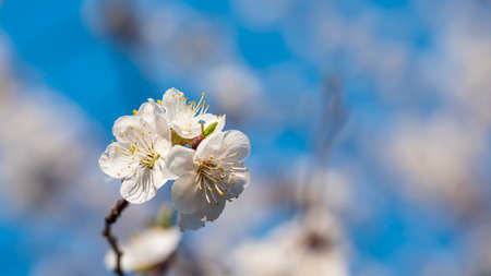 Flowers on the blossoming apricot branches