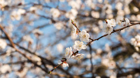A branch of blossoming apricots against a blue sky