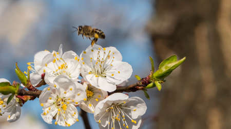 Bee collecting pollen on apricot blossom Imagens