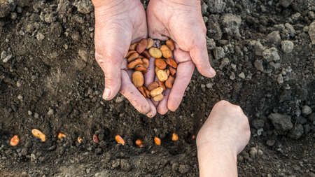A farmer with a child is planting beans on the field.