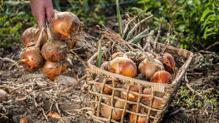 Farmer puts onion bulbs in the basket, harvesting on the bed