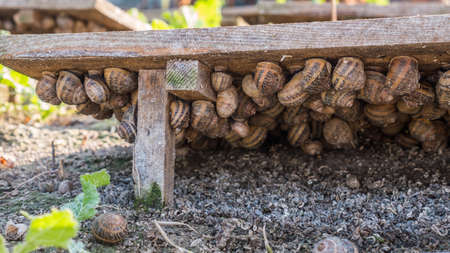 Snail farm - animals hide from the sun under flooring from boards. Growing raw materials for a refined delicacy